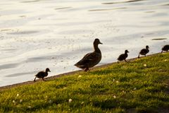 Duck mother walking with her ducklings near a lake. Ducklings and their mother walking at an edge near a lake royalty free stock image
