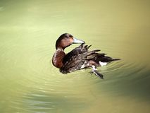 Duck in motion Royalty Free Stock Image