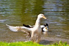 Duck in motion Royalty Free Stock Photography