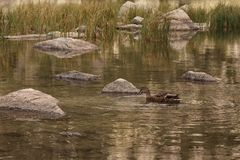 Duck in the mountain river. Duck swimming in the mountain river . Camouflaging between the landscape royalty free stock photography