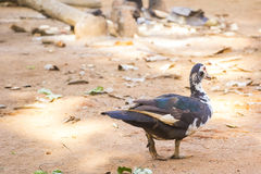 A duck. Moving around in a village in southwest Nigeria stock image