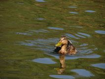 Duck moving on the lake Royalty Free Stock Photography