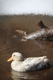 Duck in mud Stock Photography