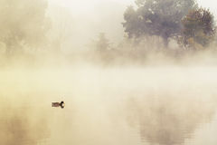 Duck in a mystic morning light Royalty Free Stock Images