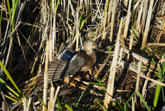 Duck in nature grass camouflage open wing Stock Images