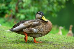 Duck in nature stock photography