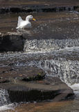 Duck Navigates Cascading Stream Immagine Stock