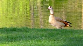 Duck Near il lago verde in natura archivi video
