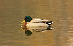 Duck near the lake Royalty Free Stock Image