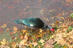 Duck near the lake in autumn Stock Photography