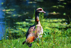 Duck. Near a lake early morning Stock Photography