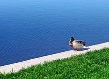 Duck near the Lake. Duck sits near the Lake in the Summer Day Stock Photos