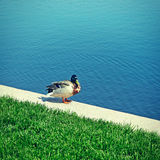 Duck Near the Lake. Toned Photo of Duck sits near the Lake in the Summer Day Royalty Free Stock Photo