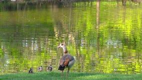 Duck Near le lac vert en nature banque de vidéos