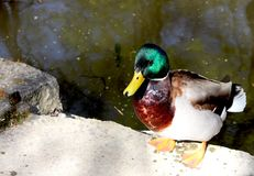 The duck near the pond. Prague, czech republic Royalty Free Stock Image