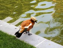 Duck near the pond. Stock Image