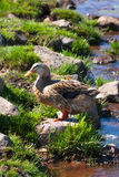 Duck near the river. Royalty Free Stock Photo
