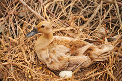 Duck in the nest Stock Image