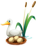 A duck beside the nest Royalty Free Stock Image