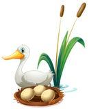 A duck beside the nest stock illustration