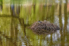 Duck in nest on lake in park in Keukenhof park. Beautiful outdoor scenery. Peace and quiet in park in Keukenhof park. Duck in nest on the lake. Beautiful outdoor Stock Image