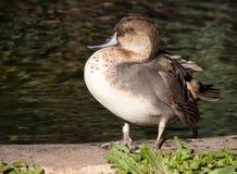 Duck Next vers un étang Images libres de droits
