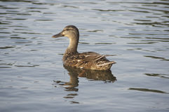 Duck on Niagara River. Duck swimming around a harbor on the Niagara River Stock Photography