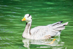 Duck. Nice duck swimming in a pond with copy space Royalty Free Stock Images