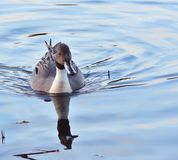Duck northern pintail in a lake royalty free stock photo