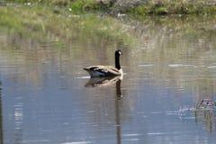Duck o ganso do pato do pato, conversa à extremidade Fotos de Stock