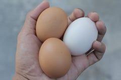 Duck o ovo e ovos de galinhas frescos em minha mão Foto de Stock