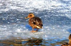 Duck o passeio no gelo em um lago congelado Imagens de Stock Royalty Free