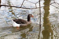 Duck o patinho feio saindo irritado em um humor mau imagens de stock