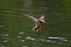 Duck o voo acima da superfície da água Fotos de Stock Royalty Free