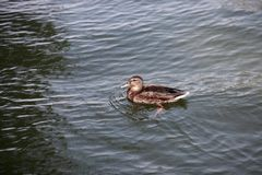Duck with offspring swimming in the river. Female duck with offspring swimming in the river stock photography