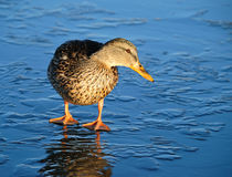 Duck On Thin Ice Royalty Free Stock Photography