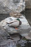 Duck with one eye open. Two ducks resting on a rock, one with its eye open Royalty Free Stock Photos