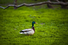Duck in the one of the pariks in Moscow. In Park Gorki. Beautiful duck. Royalty Free Stock Photos