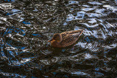Duck ordinary in a wave pattern Royalty Free Stock Photos