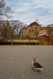 Duck in Oslo's park Royalty Free Stock Images