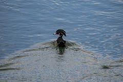 Duck Out di legno maschio per una nuotata fotografia stock libera da diritti
