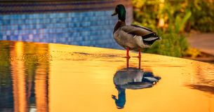 Duck at outdoor spa at sunset. Mallard duck on the side of an outdoor spa with golden water from the reflections of sunset,  image with copy space in landscape Royalty Free Stock Image