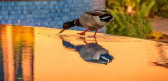 Duck at outdoor spa at sunset. Mallard duck on the side of an outdoor spa with golden water from the reflections of sunset,  image with copy space in landscape Stock Photo