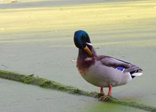 Duck over green wood in a green lake royalty free stock image