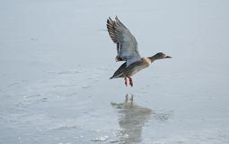 Duck over lake. Wild duck flying over a lake Royalty Free Stock Images