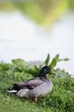 Duck Overlooking Lake solo Fotografie Stock
