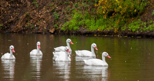 Duck pack on water following their leader. Team of ducks following their leader on a rainy day Stock Photography