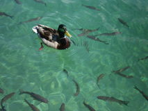 Duck paddling on the clear waters of Plitvice Lakes National Park, Croatia Royalty Free Stock Photo