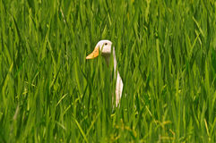 Duck in paddy field Royalty Free Stock Image