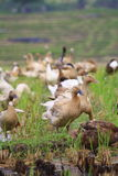 Duck on Paddy Field in Bali Indonesia Royalty Free Stock Images